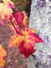 Red, yellow fall leaf with bark